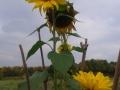 Sonnenblume im Schulgarten